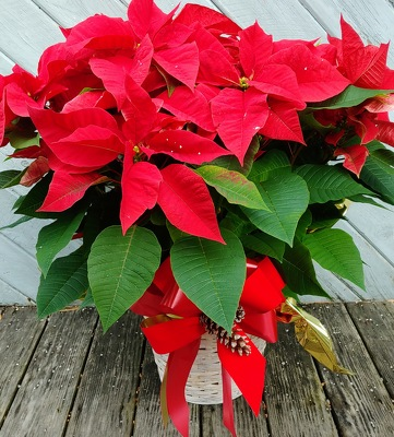 Christmas Blossoms Poinsettia from Rose Garden Florist in Barnegat, NJ