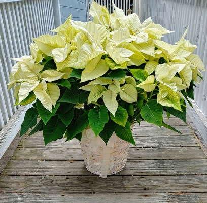 Moonlit Beach Poinsettia from Rose Garden Florist in Barnegat, NJ